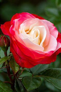 Roos van rood naar wit van Jolanda van Eek