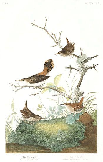 Oost-Amerikaanse Winterkoning van Birds of America