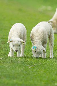 little lambs van Kees vd Heijden
