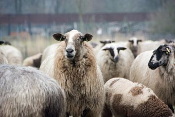 Schafe von Jelmer Pouwelsen