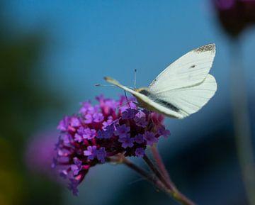 vlinder van Michael De Hoogh