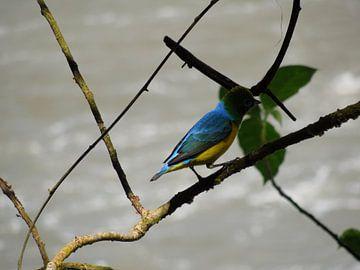 Gekleurde vogel in Iguazu van Lin McQueen