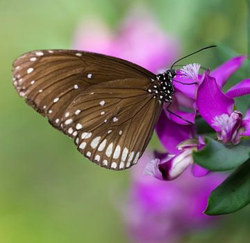 Oleander Vlinder von Ingrid Ronde