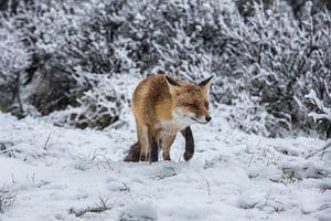 vos in de sneeuw van