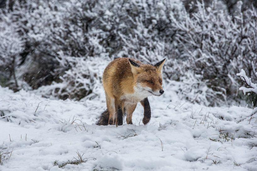 vos in de sneeuw van Robin Smit