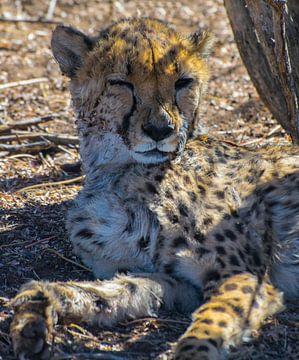 Knipoog van een cheetah, Namibië van Rietje Bulthuis