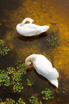 Twee zwanen met de reflectie van de zon op de ondiepe water van Jan Brons