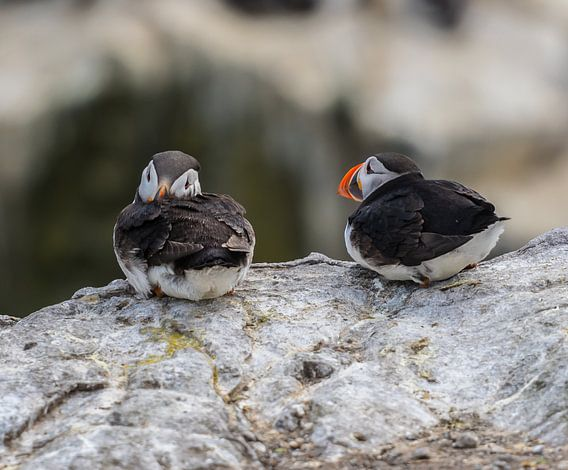 Papegaaiduikers op de rotsen van Robin Voorhamm