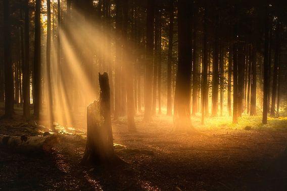 Golden forest light