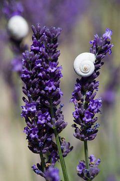 Lavendel sur Jolanda van Eek