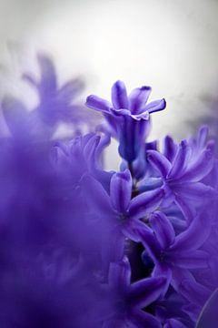 hyacint 01 von Elma van Putten