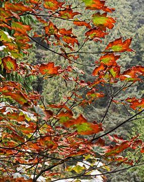Indian Summer - Canadeese esdoorn in herfstkleuren van Jutta Klassen