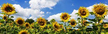 Sonnenblumenpanorama von Frank Herrmann