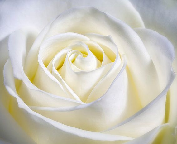 Hart in het midden van de roos.