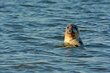 Zeehond langs Texelse Kust van Ronald Timmer