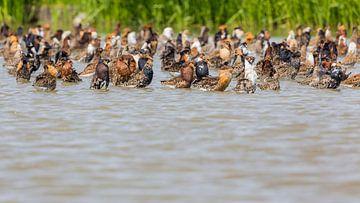 Oiseaux Ruffs oiseaux de prairie spéciaux, Frise sur Servan Ott