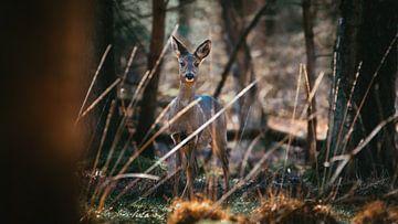 Ree in oplettende houding in de Nederlandse bossen