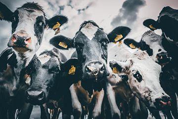 Kühe von Bjorn Brekelmans