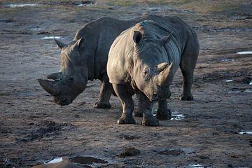 Zwei Nashörner auf einem schlammigen Feld von Joost Adriaanse