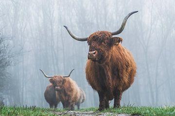 Schotse hooglanders mist van Bart Lindenhovius