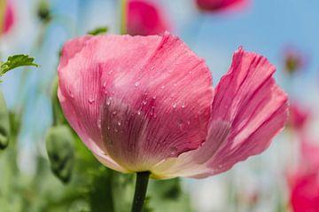 Mohnblume im Rosa von Ans Bastiaanssen