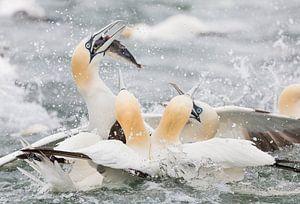 Vogels | Jan-van-genten in actie, vissend op de Noordzee van Servan Ott