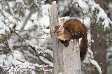 Dennenmarters ( Martes americana ) in de winter met sneeuwval, Yellowstone NP, USA. van wunderbare Erde