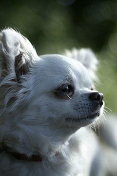 Chihuahua von Ariska Bonnema