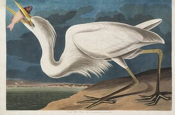 Amerikanischer Blaureiher - Teylers Edition - Vögel Amerikas, John James Audubon von Teylers Museum