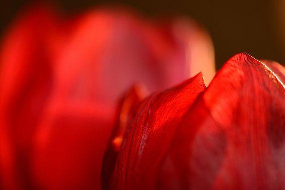 Rode tulp van Gonnie van de Schans