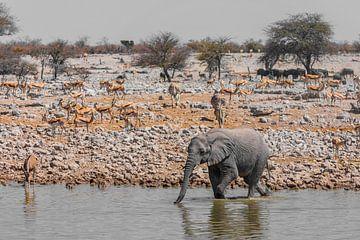 Junger Elefant am Wasserloch von Felix Brönnimann
