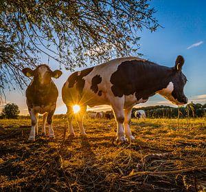 Koeien uitrwaarden Oosterbeek avondzon