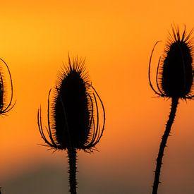 Kaardebol bij zonsondergang van Ilya Korzelius