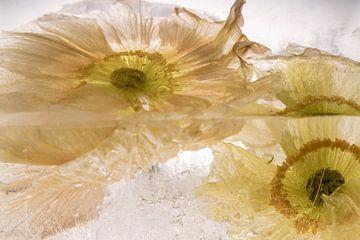 Papaver bloeit in kristalhelder ijs van Marc Heiligenstein