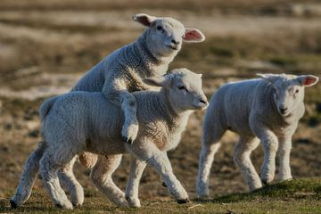 Des agneaux qui jouent sur Bodo Balzer