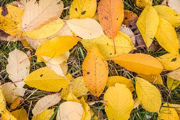 Gelber Herbstgruß des Kirschbaums van Christian Müringer