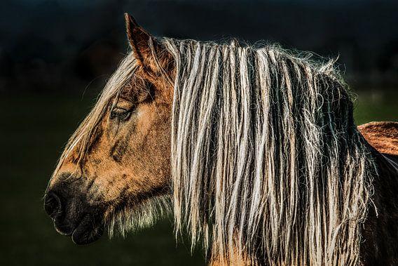 Belgisch paard van Harrie Muis