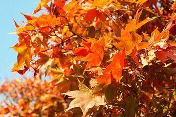 Esdoorn in herfstkleuren 6910082144 fotograaf Fred Roest van Fred Roest