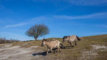 Konikpaarden van Marcel Klootwijk