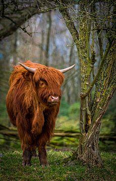 Highlander écossais sur Jeroen te Lindert