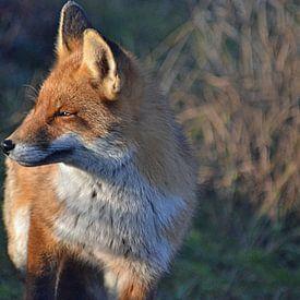 Een vos van JTravel