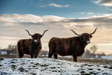 Schotse Hooglanders in de sneeuw van Paula Romein
