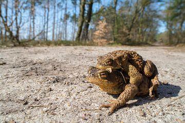 Kröten laufen zum Teich, um sich zu paaren. von Thijs van den Burg