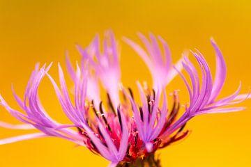 Kontrastreiches Blüten-Portrait einer pinkfarbenen Blüte vor gelb-orangem Hintergrund im Sommer von Christian Feldhaar