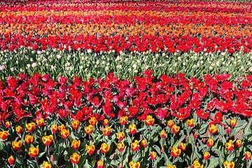 Bloemenveld met rijen rode tulpen van Ben Schonewille