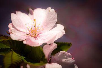 Makro rosa Blüte Kirschbaum im Frühling mit Bokeh von Dieter Walther