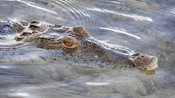 Loerende alligator in Mexico van