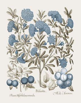 Basilius Besler-Begleitblumen und Pflaumen