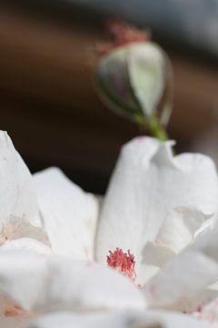 rozen in bloei van Karin Keesmaat Kijk-Kunst