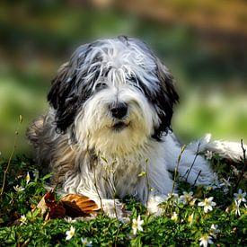 Hund - PON - Polski Owczarek Nizinny, polnischer Niederungshütehund von Peter Roder